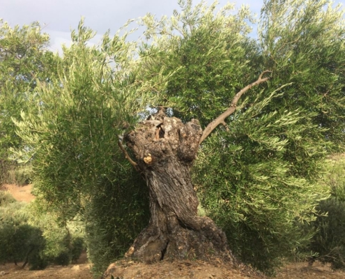the very tree our green olives are from
